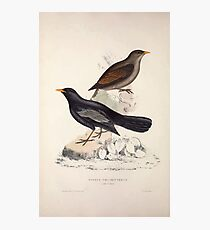 John Gould A Century of Birds from the Himalaya Mountains 1831 014 Turdus Poecilopterus Photographic Print