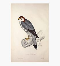 John Gould A Century of Birds from the Himalaya Mountains 1831 002 Falco Chiquera Photographic Print