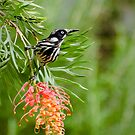 Finding Nectar - New Holland Honeyeater by Dilshara Hill