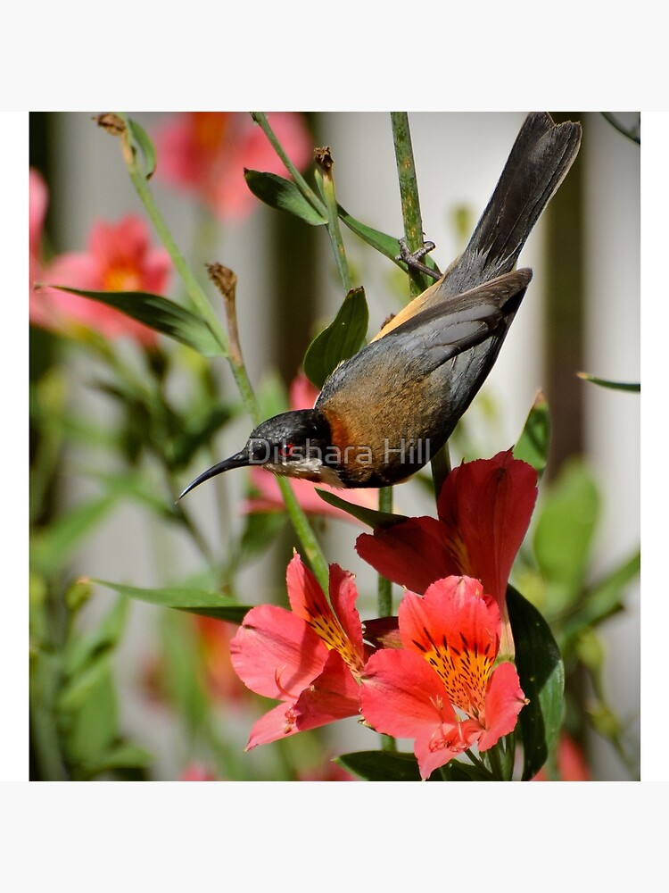 Eastern Spinebill  by dilshara