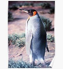 King Penguin on Heard Island Poster