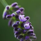 Lavender flower by Talida Pacurar
