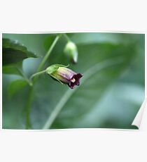 Belladonna or deadly nightshade (Atropa belladonna) Poster
