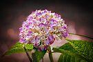 Hydrangea - textured by PhotosByHealy
