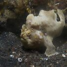 Commersons frog fish by richymac