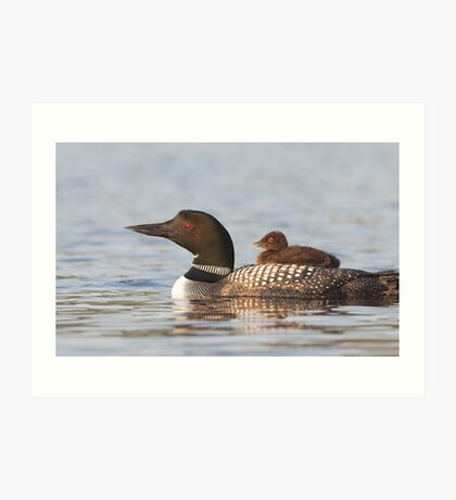 Common loon swimming with chick on her back Art Print