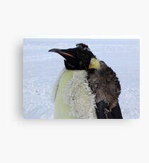 Molting Emperor Penguin Canvas Print