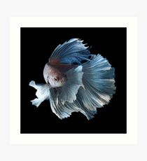 White Angel Siamese Betta Fish Art Print