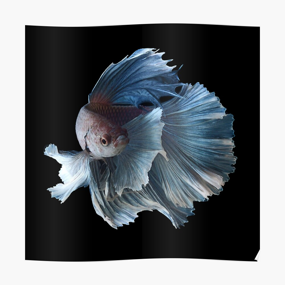 White Angel Siamés Betta Fish Póster