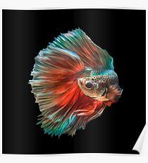 Irish Siamese Betta Fish Poster