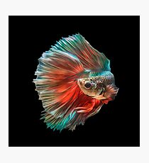 Irish Siamese Betta Fish Photographic Print