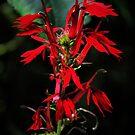 Kentucky Cardinal Flower by Ann Eldridge