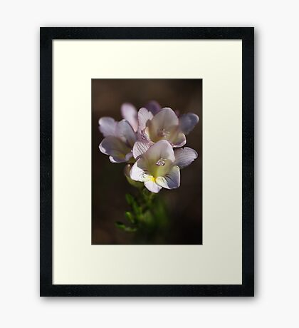Beauty Of Freesias  Framed Print