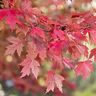 Red Maple Leaves by Bo Insogna