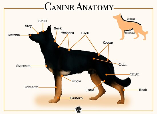 Canine Anatomy Posters By 2woofs 1meow Redbubble