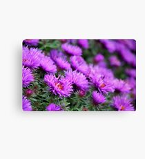 'Purple Dome' Aster - Symphyotrichum novae-angliae Canvas Print