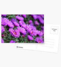 'Purple Dome' Aster - Symphyotrichum novae-angliae Postcards
