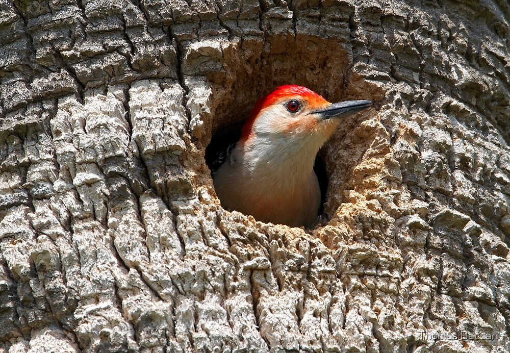 Woodpecker Takes a Peek out of his home by TJ Baccari Photography