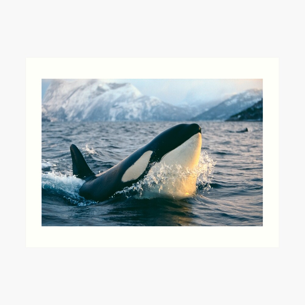 Orca - Tysfjord, Norway Art Print
