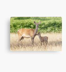 Red Deer (Cervus elaphus) calf with mother Metal Print