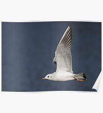 Black-headed Gull Poster