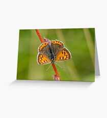 Small Copper butterfly (Lycaena phlaeas) Greeting Card