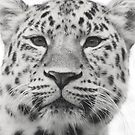 The stunning Amur leopard by miradorpictures