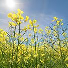 Sun Halo Over The Canola by EOS20