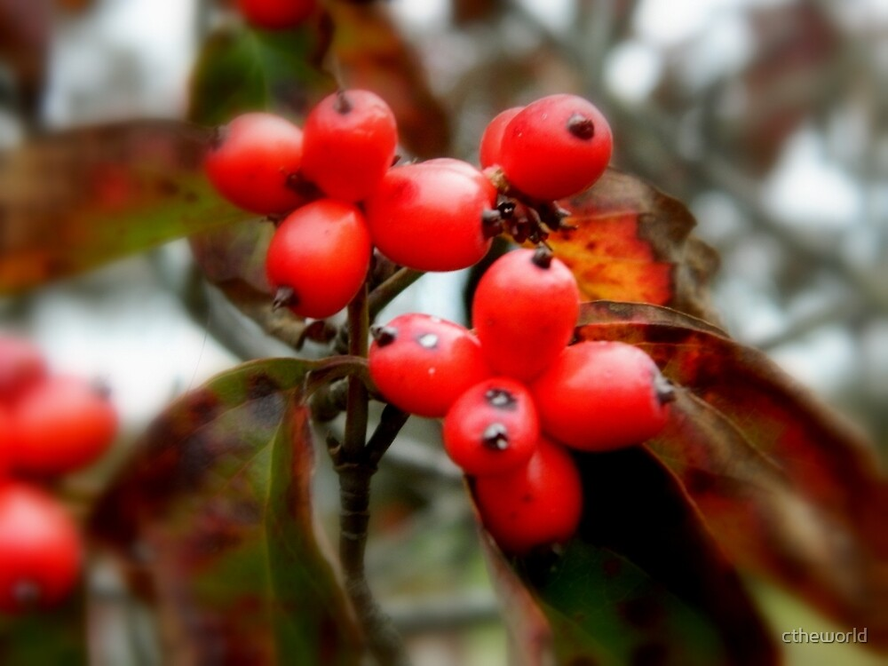 FALLBERRIES   ^ by ctheworld