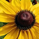Black Eyed Susan and Caterpillar by Linda Gleisser