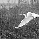 Great Egret by Craig Hender