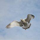 Juvenile Gull by Lynda   McDonald