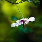 The Hibiscus dancer- Monsalvat by Jo Williams
