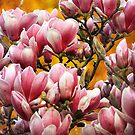 Sunset Magnolia - Full Blooms. by Jo Williams