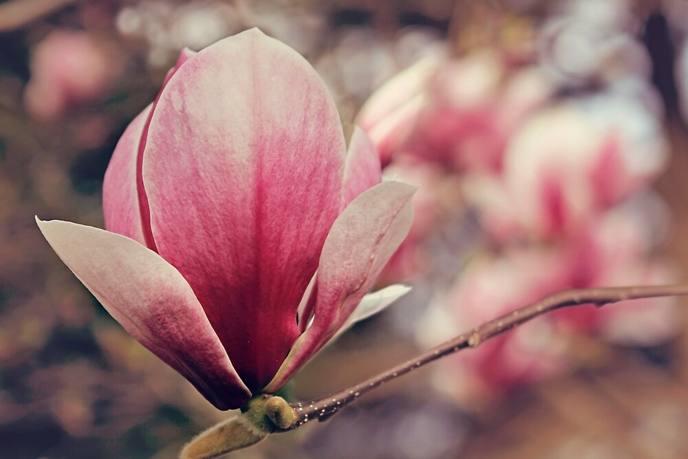 Magnolia blooms by Jo Williams