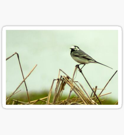Pied Wagtail looking out... Sticker