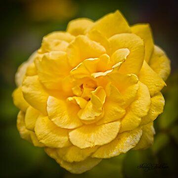 Yellow Rose by ShirleyTinkham