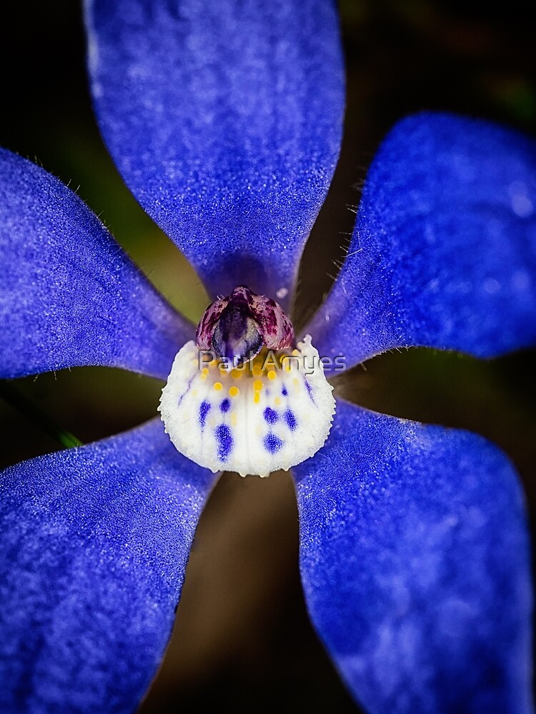 Blue China Orchid by Paul Amyes