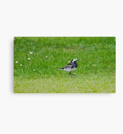 Pied Wagtail Canvas Print