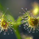 Climbing Sundew by Ben Loveday