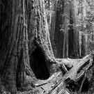 Giant Redwoods by Radek Hofman
