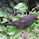 Mr Blackbird and the Ivy  berries by Paul Martin