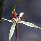 Spider Orchid by Keren Smithies