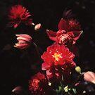 Crimson Columbine by Rasendyll