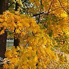Magic Autumn leaves . October 2016 . No.2. Dr.Andrzej Goszcz. Canon 5D . by © Andrzej Goszcz,M.D. Ph.D