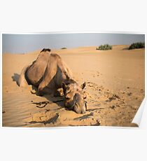 Poor Tired Camel Poster