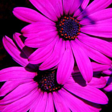 Pink Daisies by cherylorraine