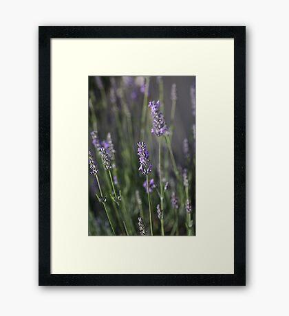The Smell Of Lavender Framed Print