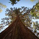 Up, sequoia! by Kathryn Steel