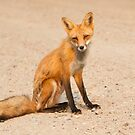 Desert fox by Jim Cumming